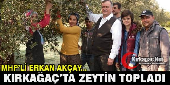 MHP'Lİ AKÇAY KIRKAĞAÇ'TA ZEYTİN TOPLADI