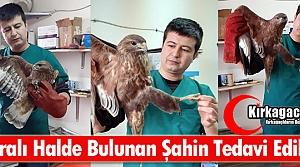 KIRKAĞAÇ'TA YARALI HALDE BULUNAN ŞAHİN TEDAVİ...