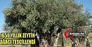 """1650 YILLIK ZEYTİN AĞACI 'ANIT AĞAÇ"""" OLARAK TESCİLLENDİ"""