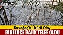 KIRKAĞAÇ'TA BİNLERCE BALIK TELEF OLDU
