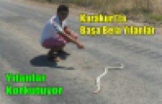 KARAKURT'TA BAŞA BELA YILANLAR